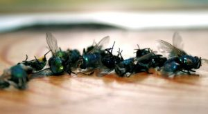 สูตรไล่แมลงวันจากธรรมชาติ ทำเองได้ง่ายๆ
