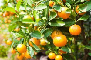 การใช้ปุ๋ยบุญพืชกับส้ม