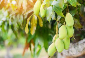 การใช้ปุ๋ยบุญพืชกับมะม่วง